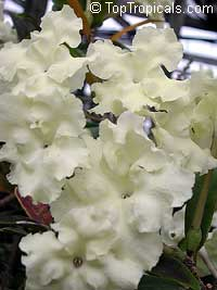 Brunfelsia plicata (jamaicensis) - Jamaican Lady of the NightClick to see full-size image