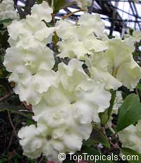 Brunfelsia jamaicensis, Brunfelsia plicata, Lady of the Night  Click to see full-size image