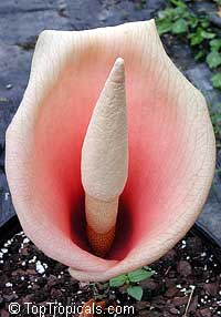 Amorphophallus bulbifer - Voodoo lily