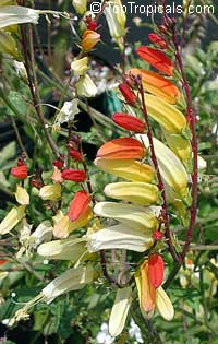 Ipomoea lobata - Spanish flag, Firecracker vine