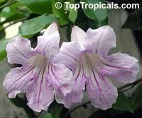 Clytostoma callistegioides, Bignonia lindleyana, Violet Trumpet Vine, Lavender Trumpet Vine  Click to see full-size image
