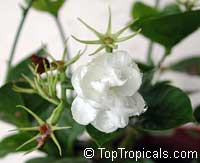 Jasminum sambac Arabian Knights, Nyctanthes sambac, Arabian Knights tea jasmine, Arabian Nights, Sampaguitas, Arabian Jasmine, Hawaiian Pikake