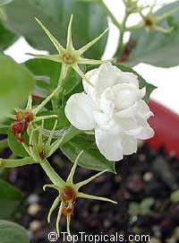 Jasminum sambac Arabian Knights, Nyctanthes sambac, Arabian Knights tea jasmine, Arabian Nights, Sampaguitas, Arabian Jasmine, Hawaiian Pikake  Click to see full-size image