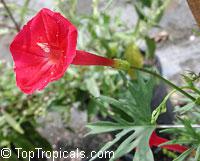 Ipomoea sloteri, Ipomoea x multifida, Cardinal Climber  Click to see full-size image