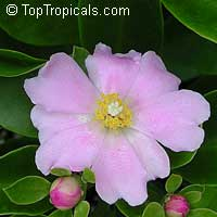Perescia grandifolia - Pink Rose cactus  Click to see full-size image