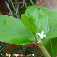 Hydnophytum formicarum, Ant Plant  Click to see full-size image