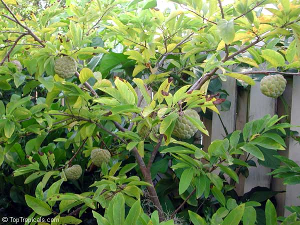 Annona squamosa, Sugar Apple, Custard Apple, Sweetsop-Anon ...