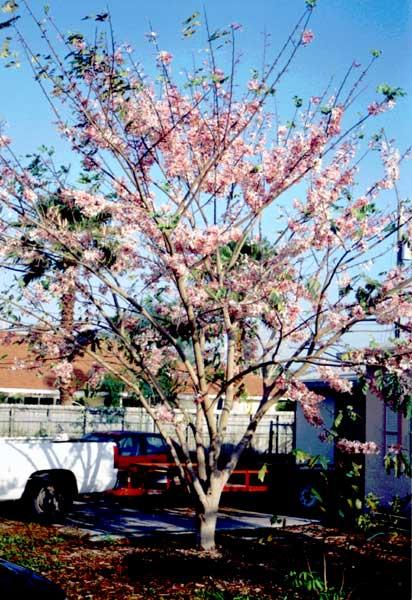 cassia bakeriana  dwarf apple blossom tree  pink cassia