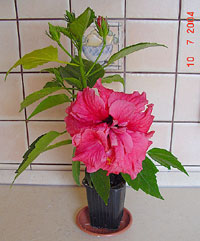 Hibiscus Double Kona, Hibiscus Double Kona  Click to see full-size image
