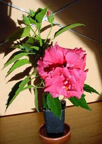 Hibiscus Double Kona, Hibiscus Double KonaClick to see full-size image