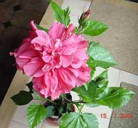 Hibiscus Double Kona, Hibiscus Double Kona