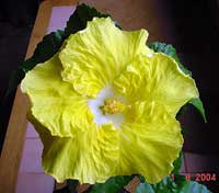Hibiscus Kinchens Yellow, Hibiscus Kinchens Yellow