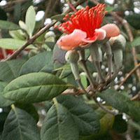 Feijoa sellowiana, Acca sellowiana, Feijoa, Pineapple Guava, Guavasteen