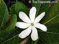 Gardenia vanuatuensis, Vanuatu Gardenia  Click to see full-size image