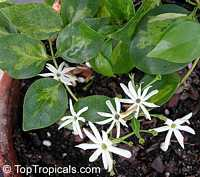 Jasminum volubile, Jasminum simplicifolium, Wax Jasmine, Australian Wax JasmineClick to see full-size image