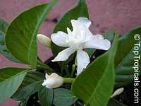Tabernaemontana divaricata Flore Pleno, Hollarhena densiflora, Tabernaemontana coronaria, Crape Jasmine, Carnation of India, East Indian Rosebay, Adam's Apple, Nero's Crown, Coffee Rose, Crepe Gardenia
