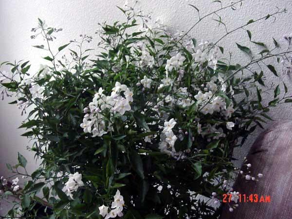 solanum laxum solanum jasminoides white potato vine. Black Bedroom Furniture Sets. Home Design Ideas