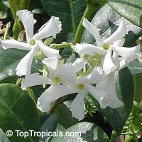 Trachelospermum jasminoides - Confederate Jasmine  Click to see full-size image