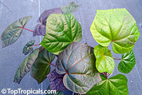 Abelmoschus manihot, South Sea Salad Tree, Sunset Muskmallow, Sunset Hibiscus, Hibiscus Manihot  Click to see full-size image