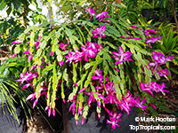 Schlumbergera x New Deal - Orchid Cactus  Click to see full-size image