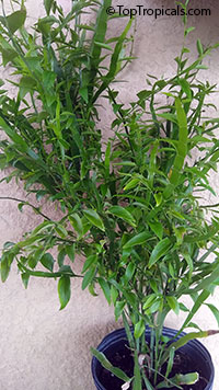 Homalocladium platycladum - Centipede Plant, Tapeworm Ribbonbush  Click to see full-size image