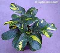 Ctenanthe lubbersiana variegata - Bamburanta  Click to see full-size image