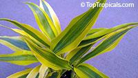 Dracaena sp., Dracaena, Money Tree  Click to see full-size image
