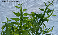 Muehlenbeckia platyclada, Homalocladium platycladum, Centipede Plant, Tapeworm Plant, Ribbonbush  Click to see full-size image