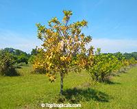 Macadamia integrifolia, Macadamia nut  Click to see full-size image