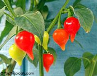 Capsicum annuum x chinense - Biquinho Pepper  Click to see full-size image