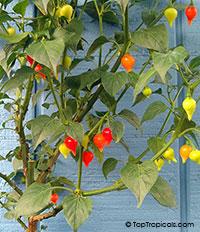 Capsicum chinense, Yellow Lantern Chili  Click to see full-size image