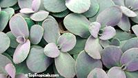 Sedum sp., Stonecrop, Hylotelephium  Click to see full-size image