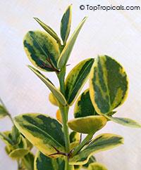 Carissa macrocarpa x Humphreyi Variegata - Variegated Natal Plum  Click to see full-size image