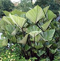 Colocasia esculenta Tea Cup