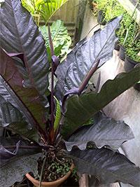 Anthurium Black Dragon