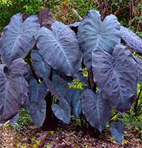 Colocasia esculenta Black Magic  Click to see full-size image
