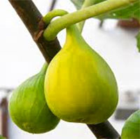 Ficus carica - Fig Yellow Longneck (Honey)  Click to see full-size image
