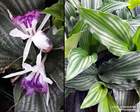 Kaempferia angustifolia - Laos Silver Stripe  Click to see full-size image