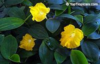 Monocostus uniflorus, Costus uniflorus, Lemon ginger, Single Flower Ginger, Yellow Spiral Ginger  Click to see full-size image