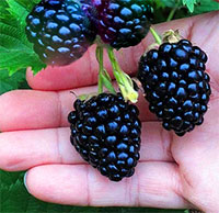 Rubus hybrid - Blackberry Big Daddy  Click to see full-size image