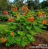 Caesalpinia pulcherrima, Peacock Flower, Barbados Pride, Dwarf Poinciana, Barbados Flower-fence, Gold Mohur  Click to see full-size image