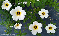Turnera subulata, Key West Butter Cup  Click to see full-size image
