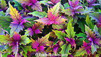 Gynura aurantiaca - Purple Passion  Click to see full-size image