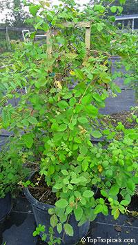 Rubus ulmifolius subsp. sanctus, Rubus sanctus, Holy Bramble, Burning Bush of the Bible  Click to see full-size image