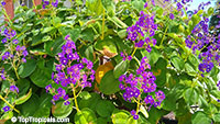 Tibouchina multiflora, Tibouchina grandifolia, Glory bush, Quaresmeira  Click to see full-size image