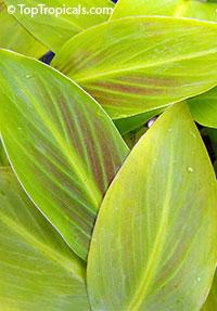 Musa - Banana Margarita  Click to see full-size image