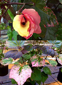 Abelmoschus manihot - Auntie Lillis South Sea Salad Tree   Click to see full-size image