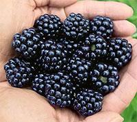 Rubus hybrid - Blackberry Arapaho  Click to see full-size image