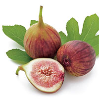 Ficus carica - Fig Celeste  Click to see full-size image