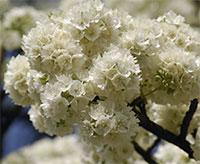 Dombeya rotundifolia - Wild Pear  Click to see full-size image